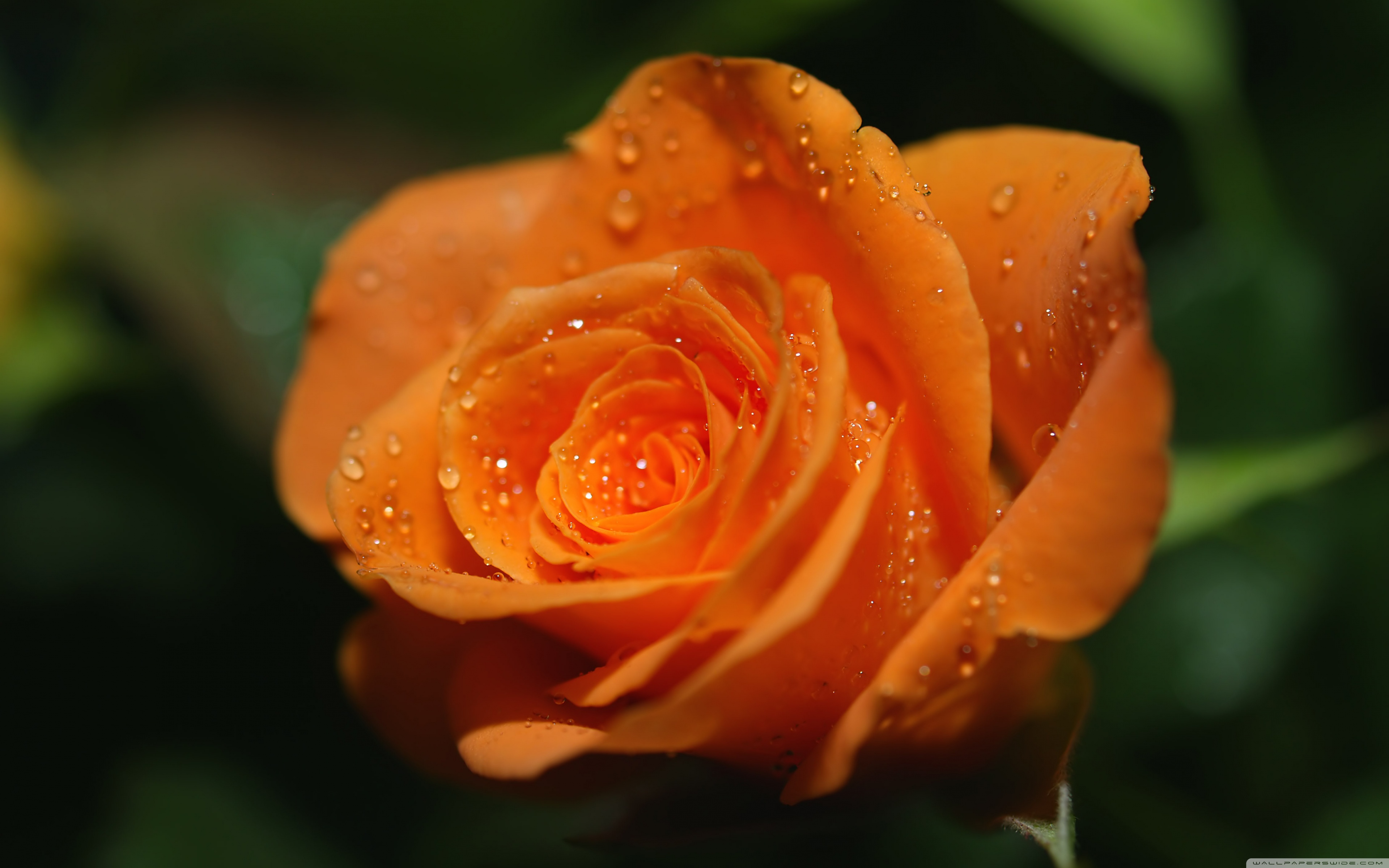 Orange Roses Wallpaper 29745 1920x1200 px