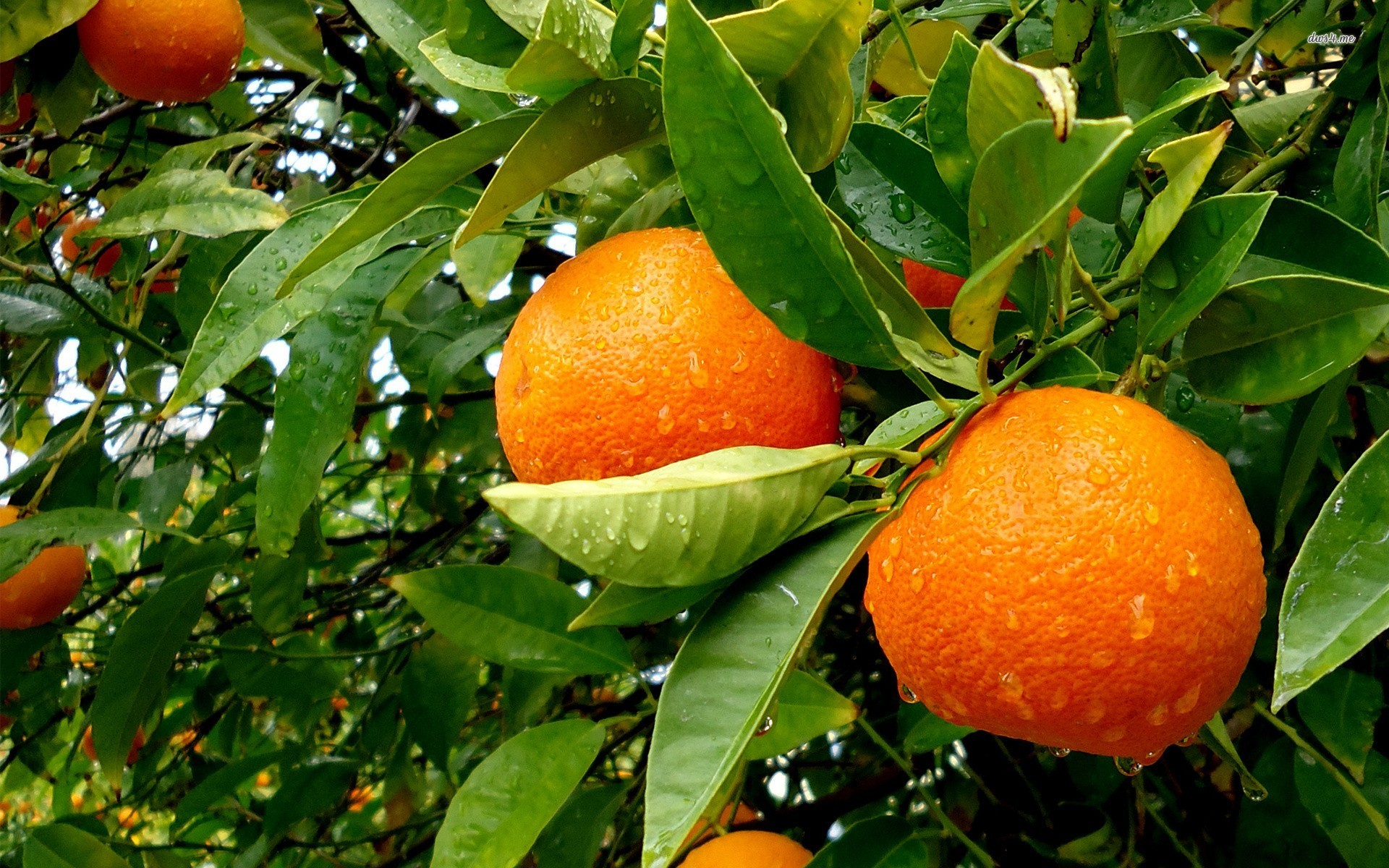 Orange Tree Tree Wallpaper