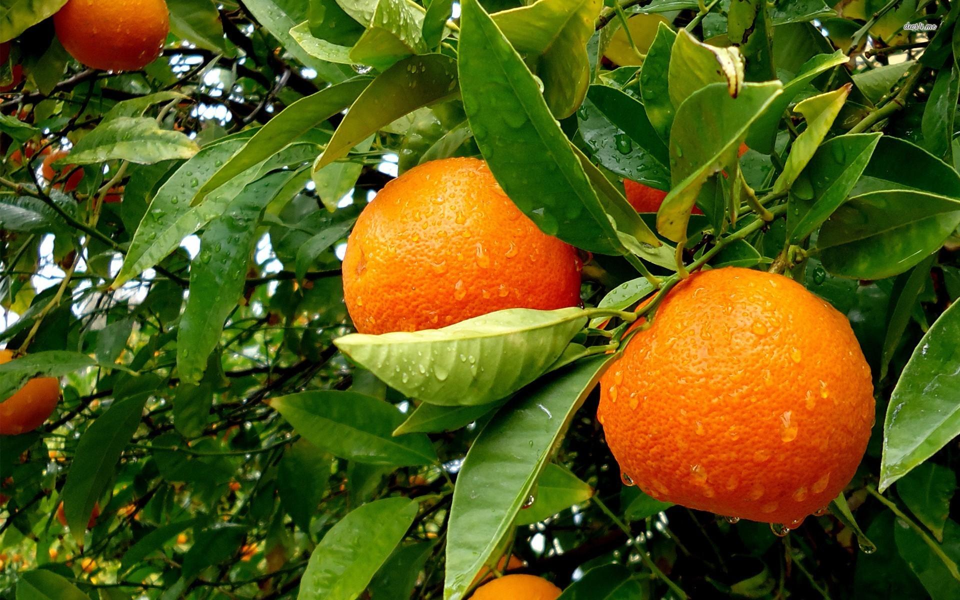Orange Tree Wallpaper