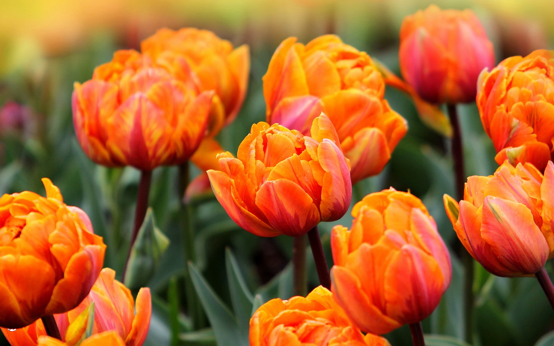 Orange tulips hd 1
