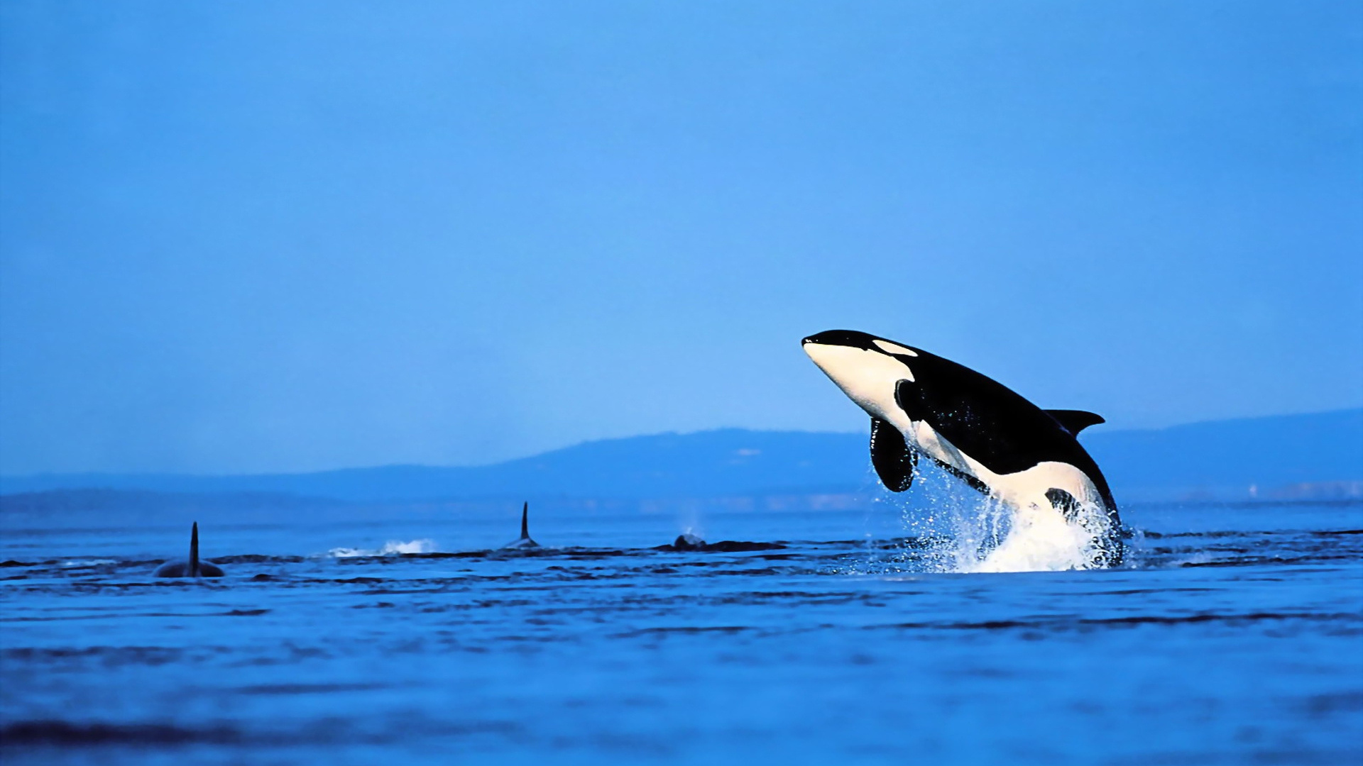 Killer Whales Wallpaper #145826 - Resolution 1920x1080 px