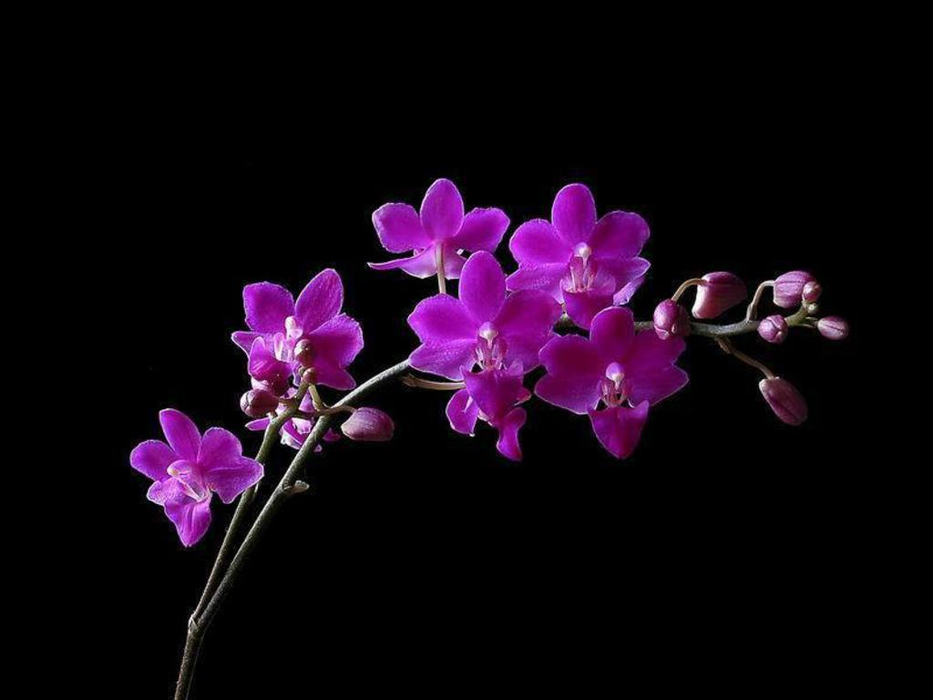 Free Flower Orchid Wallpaper