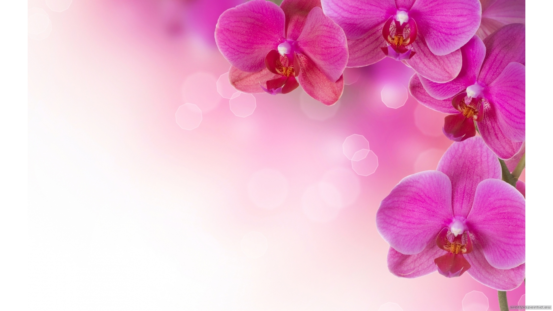 Orchid Wallpapers Free Download in Resolution