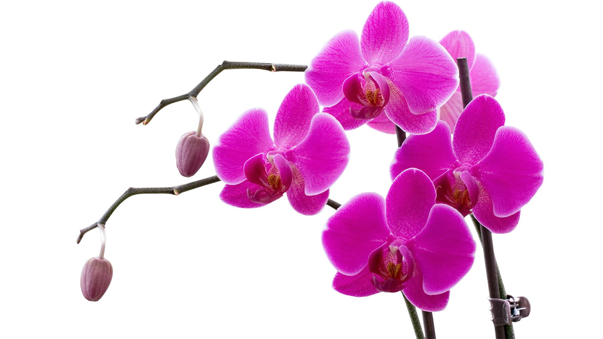 """Moth Orchid"" Phalaenopsis"