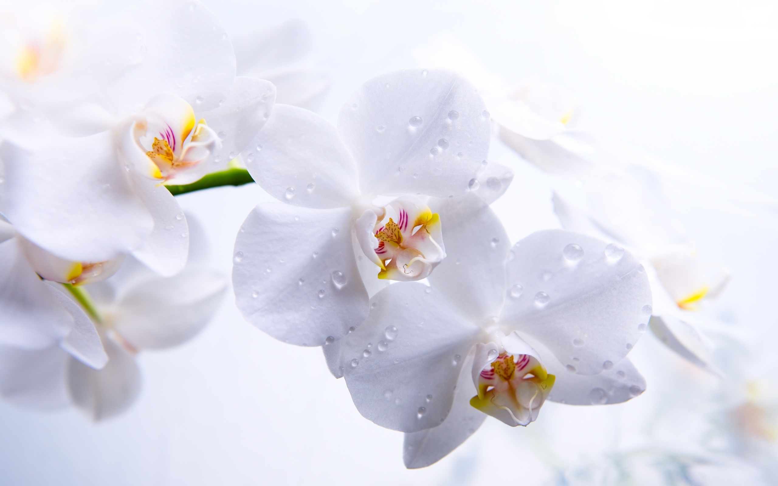 White Orchid Flower Wallpaper