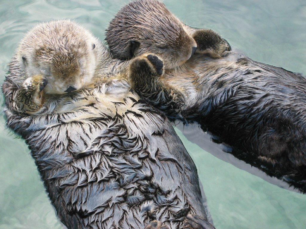 Sea_otters_holding_hands. Otters Hold Hands