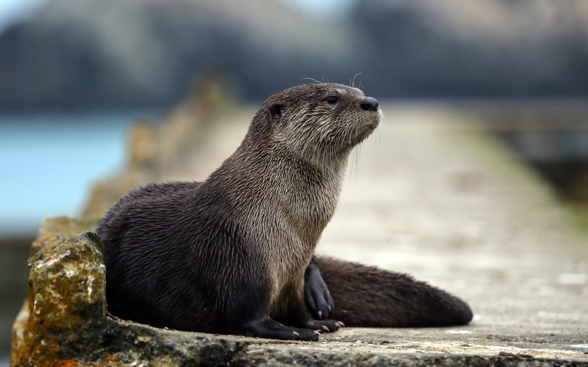 Otter Wallpaper