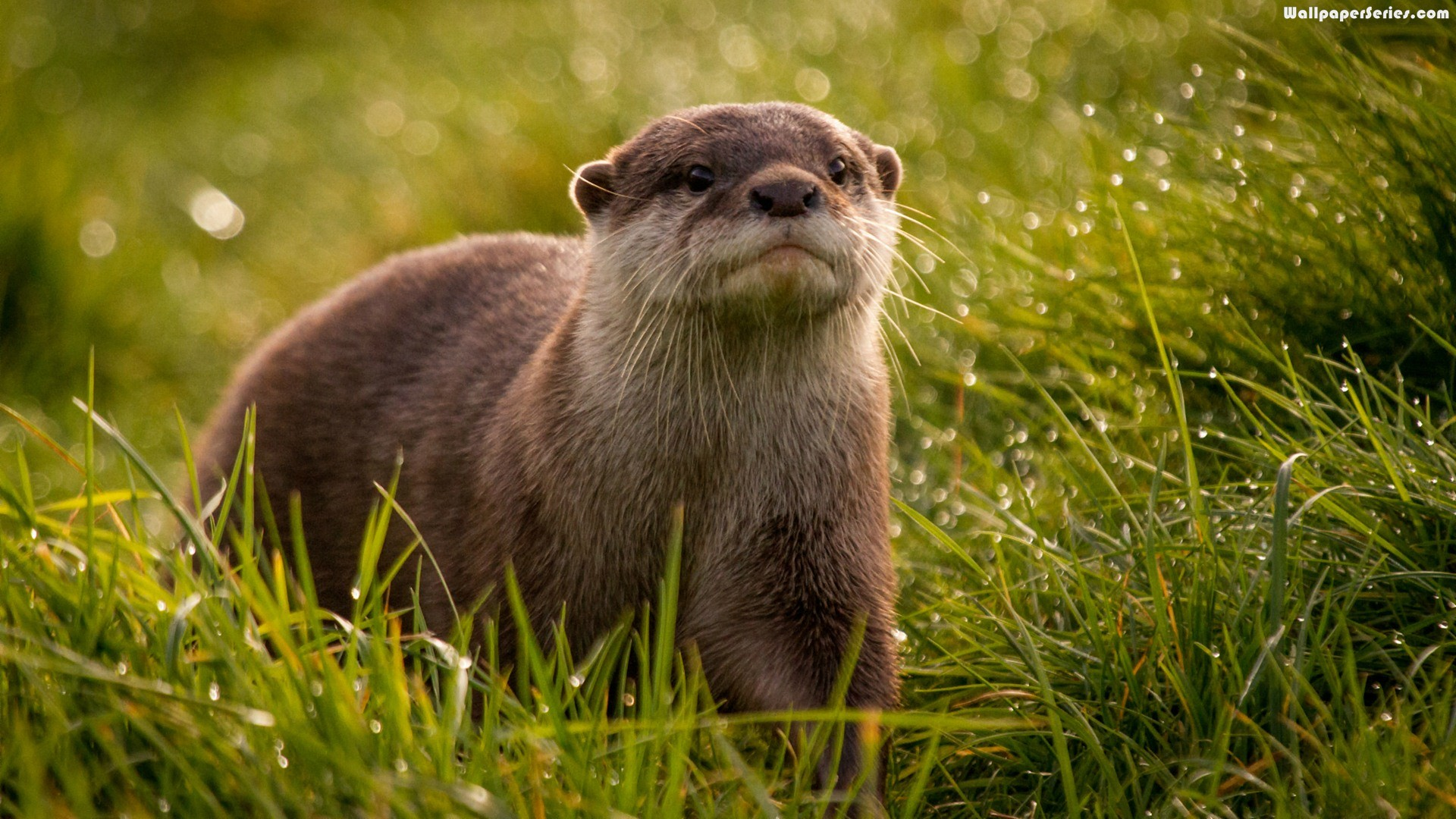 1920x1080, Beautiful, Otter, Animals, Wallpaper