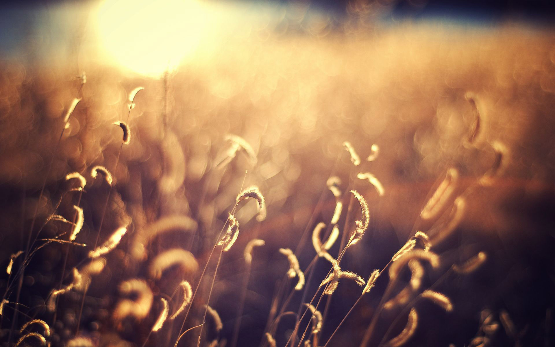Out of focus golden field wallpaper
