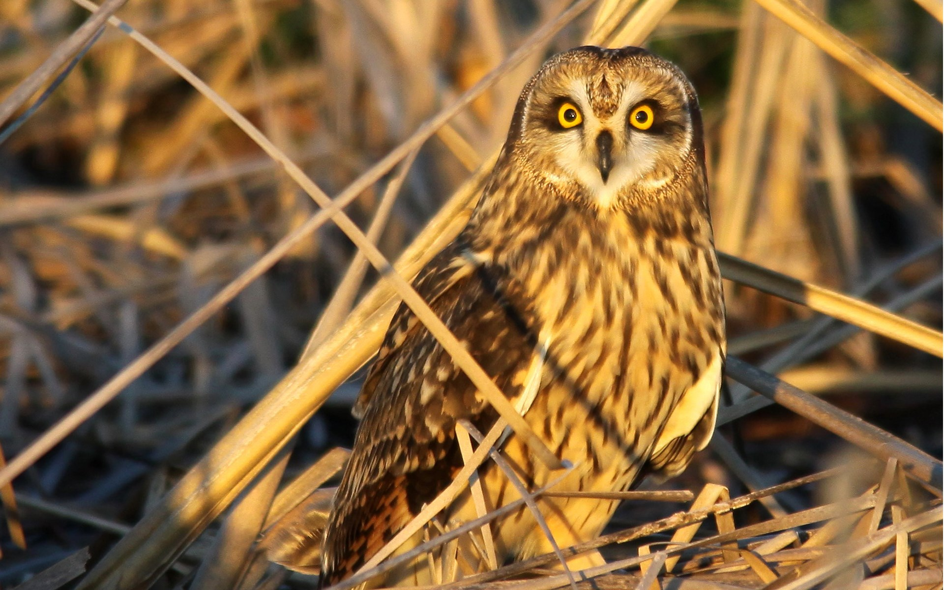 Owl Bird Grass Dry Nature