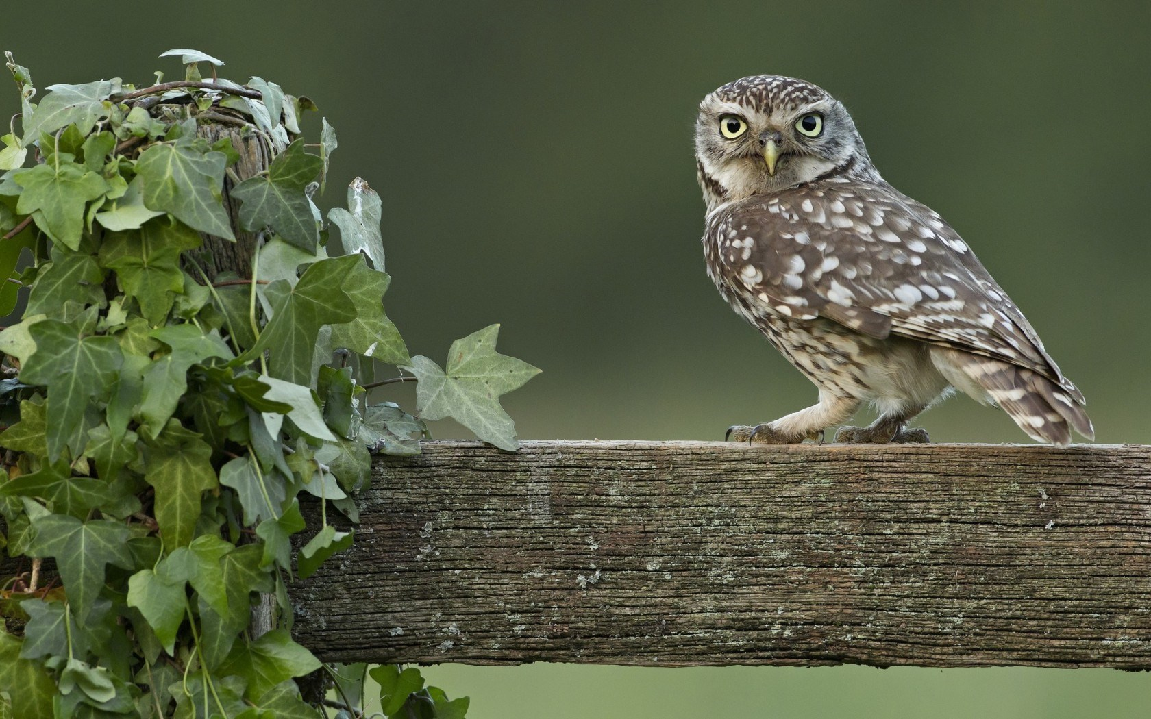 Owl Fence Ivy Vine