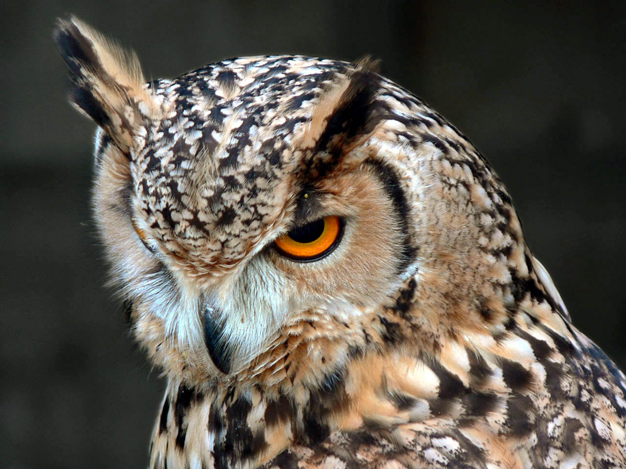 Bengal Eagle Owl, Bubo bengalensis, head, portrait