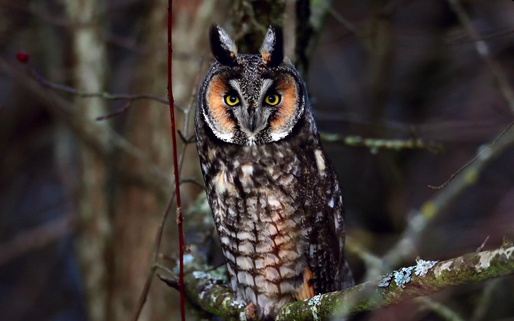 Bird Owl Look Branch