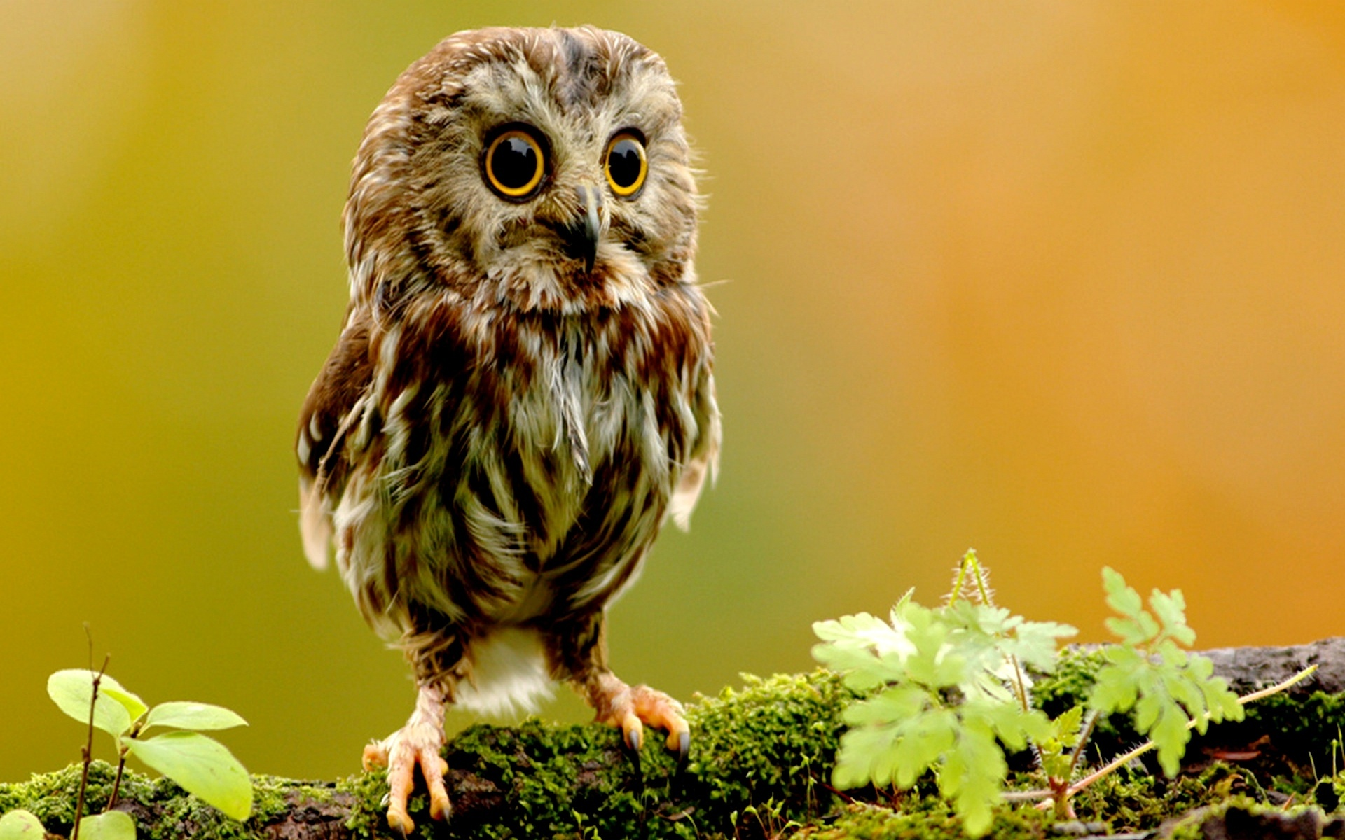... Owl-Wallpapers-Images ...