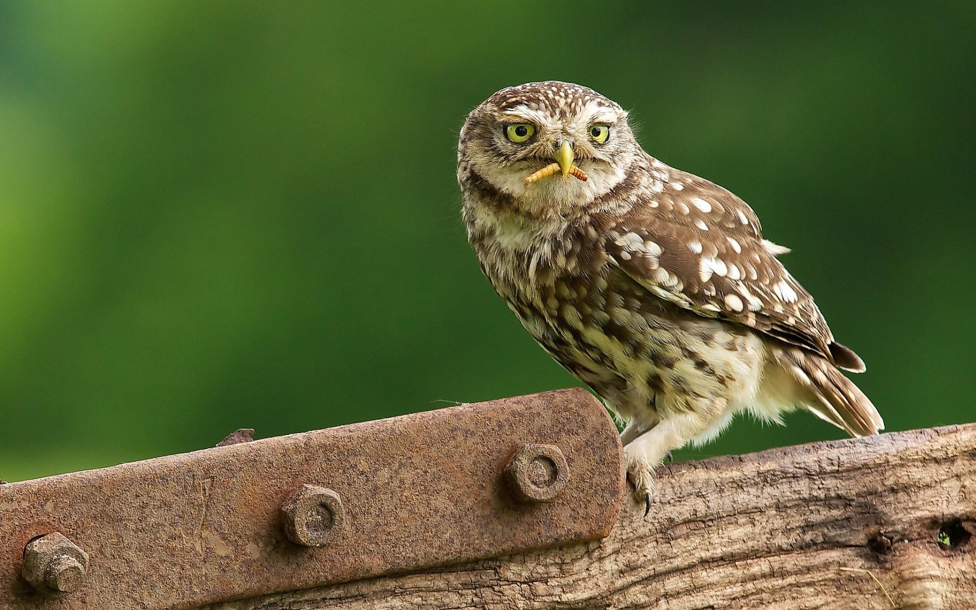 Owls Worm