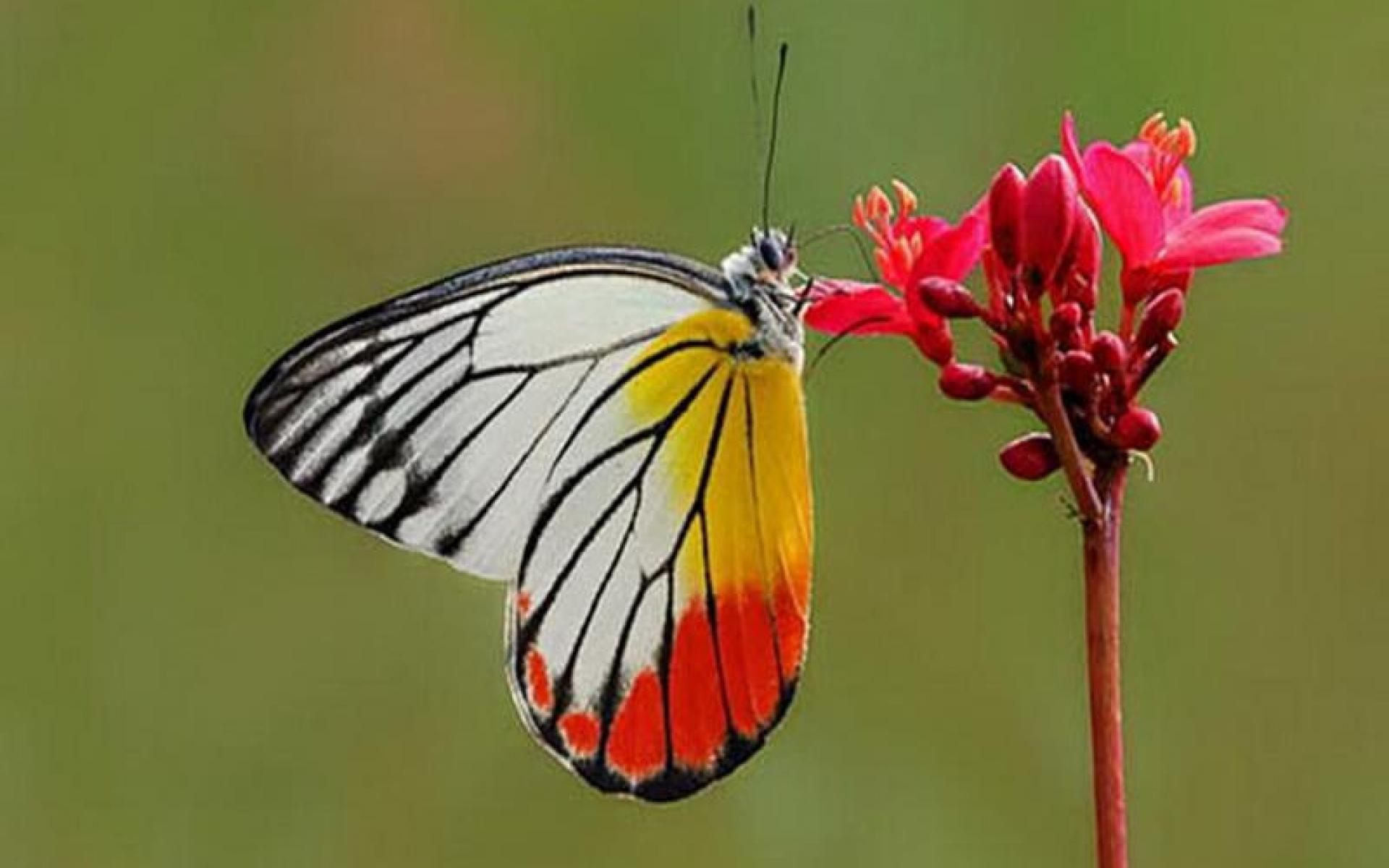 Wallpaper Tags: red yellow orange asia flower butterfly white