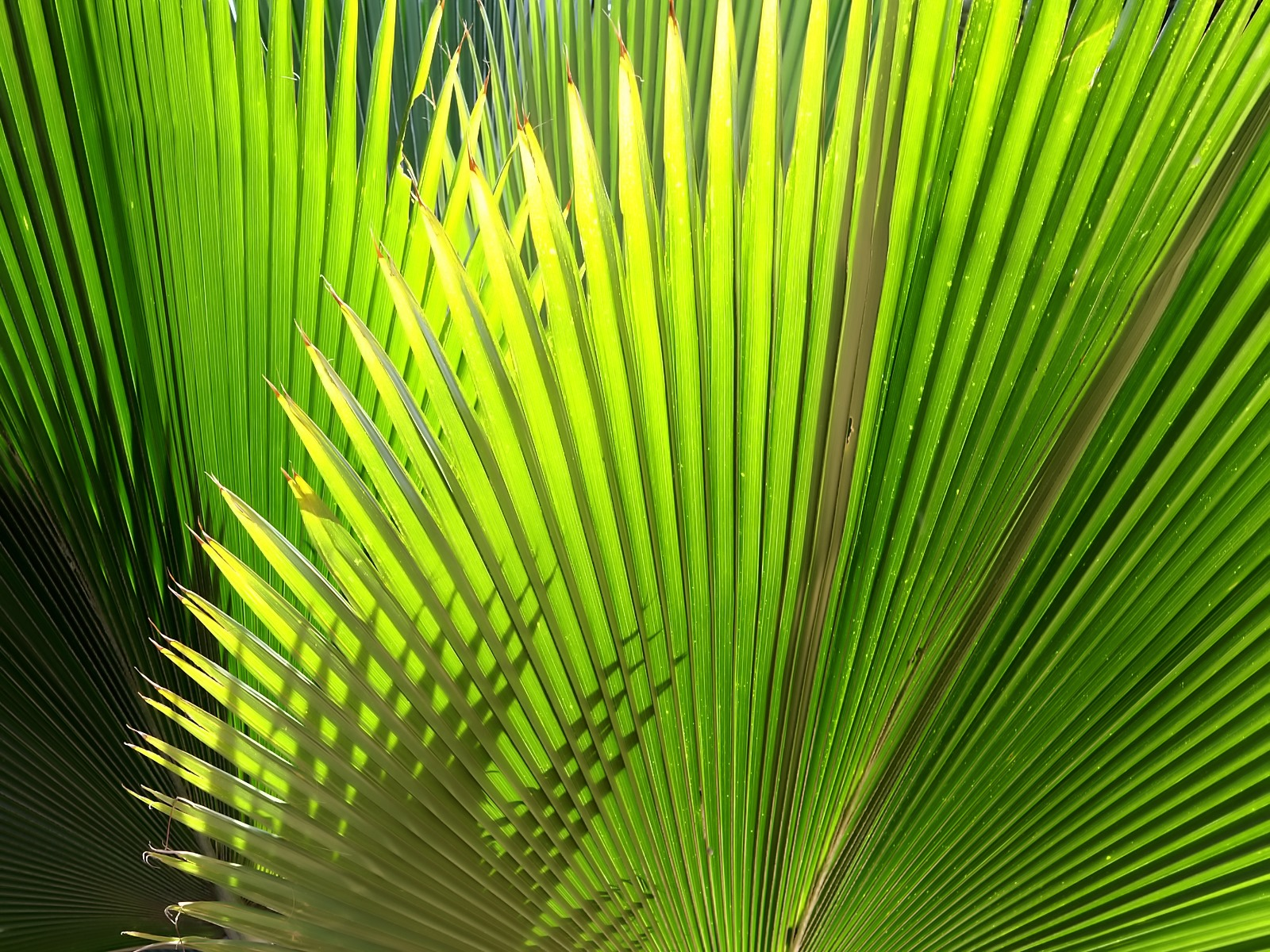 Palm Leaf Pictures
