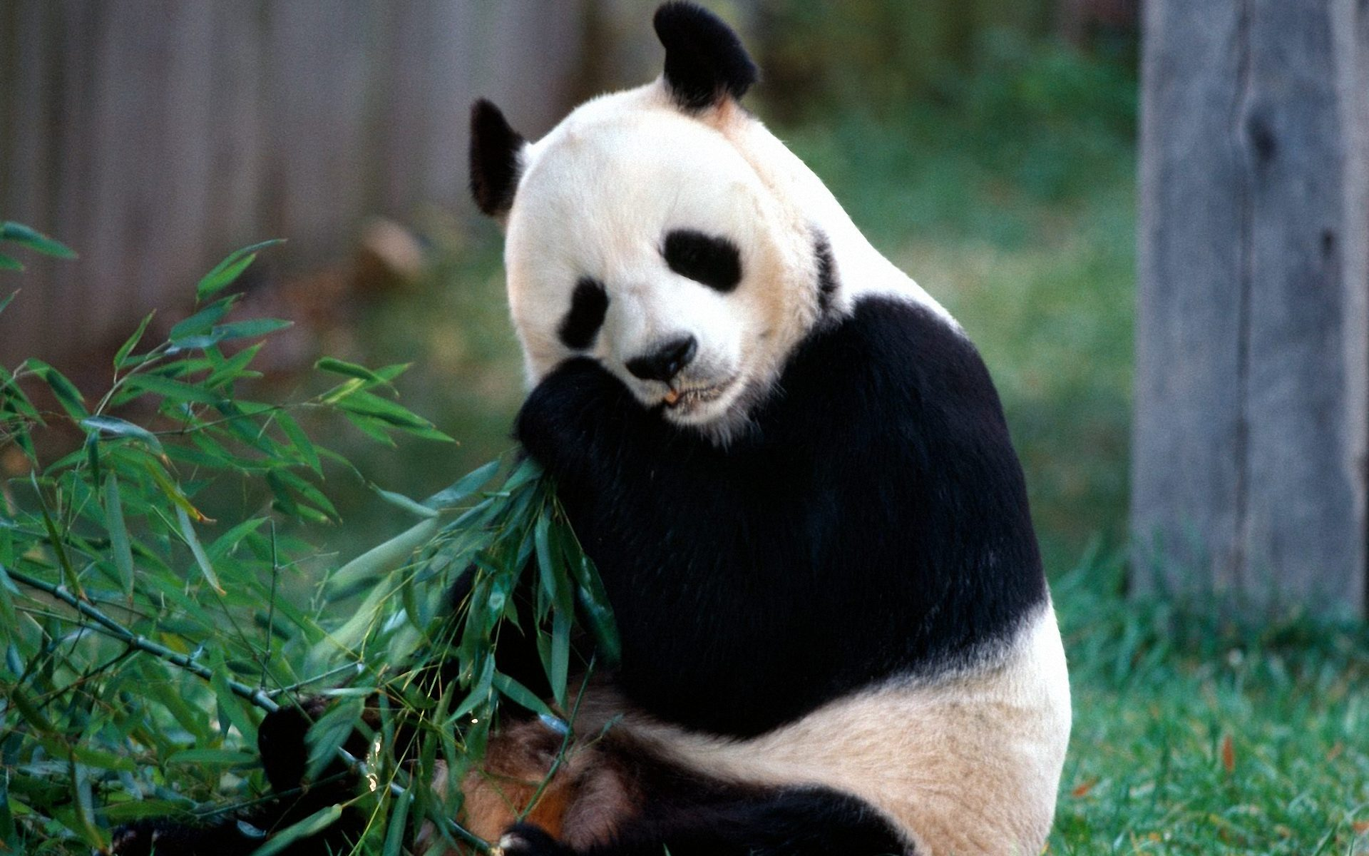Panda Eat Bamboo