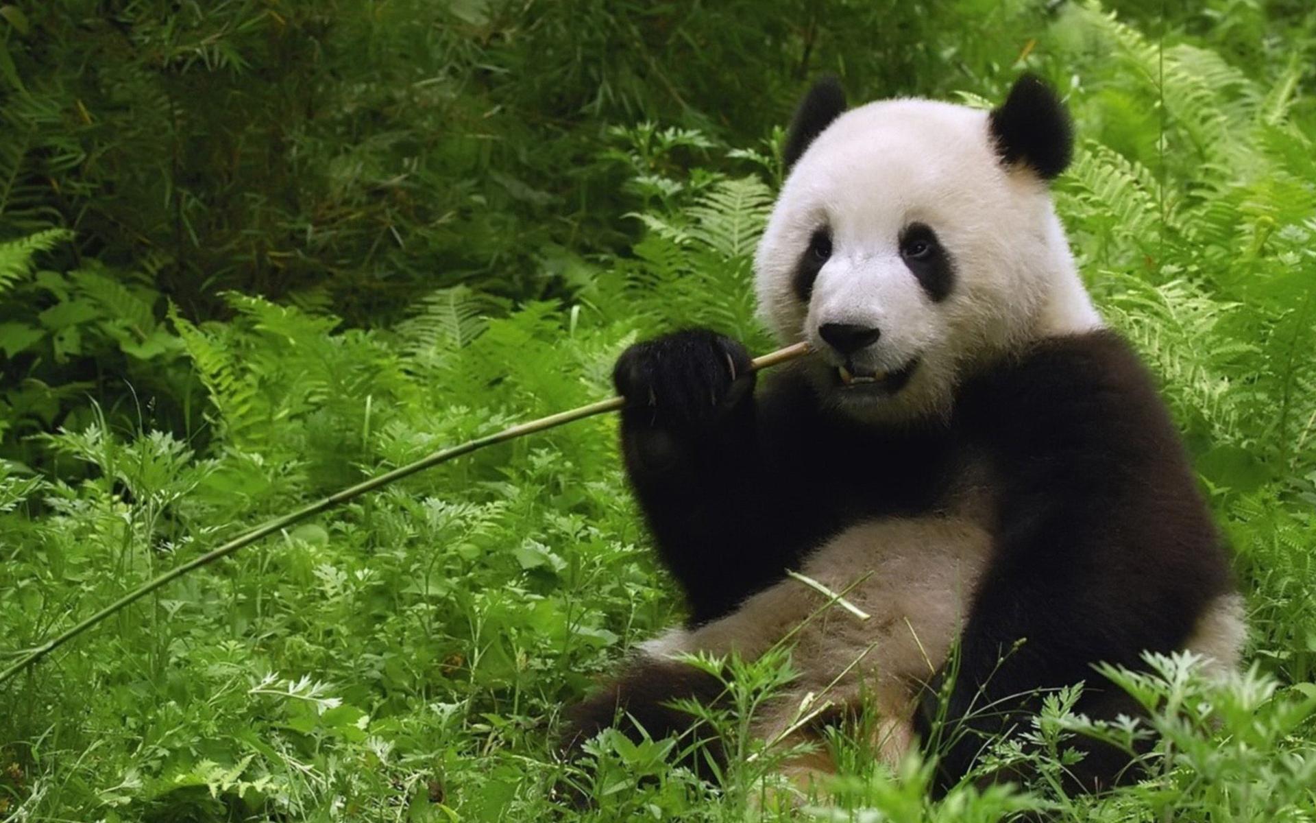 PANDA EATING BAMBOO!