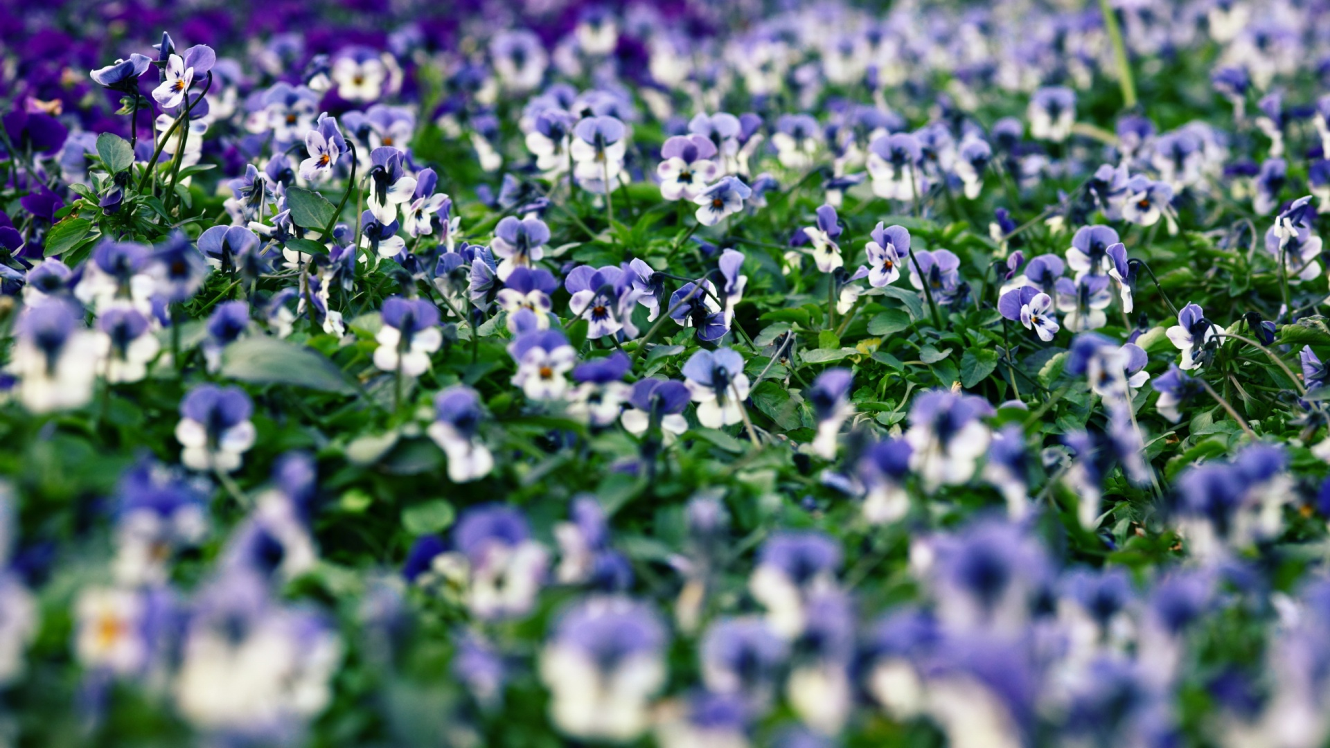 Pansies field