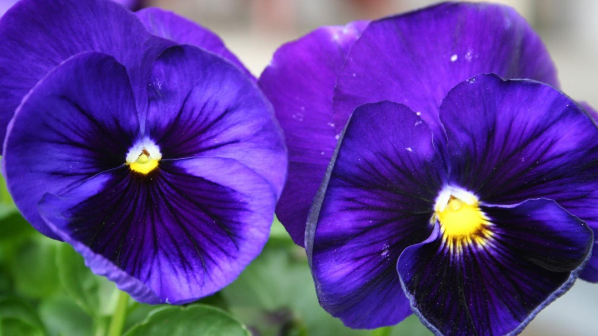 Pansies HD