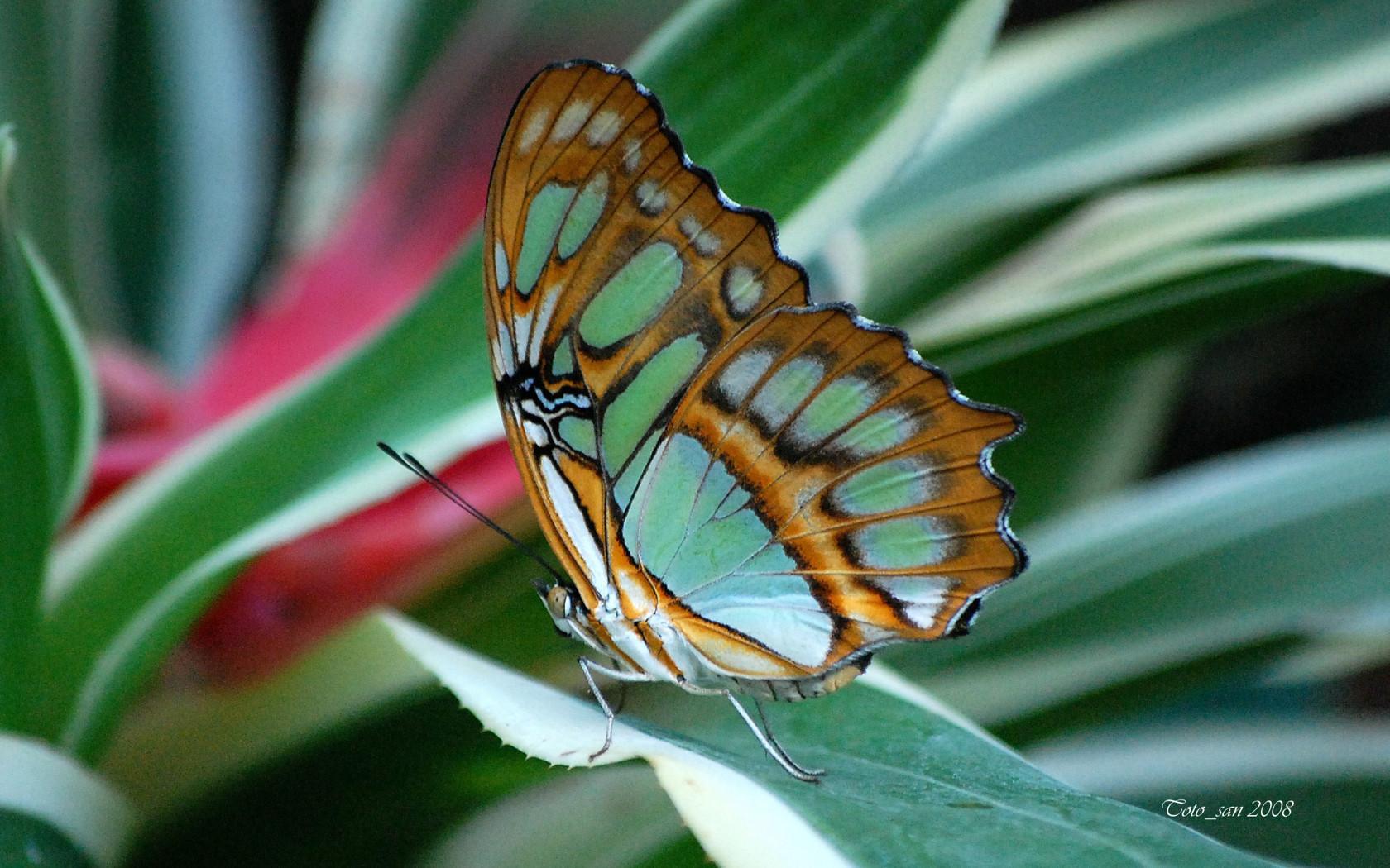butterfly papillon schmetterling peteliske
