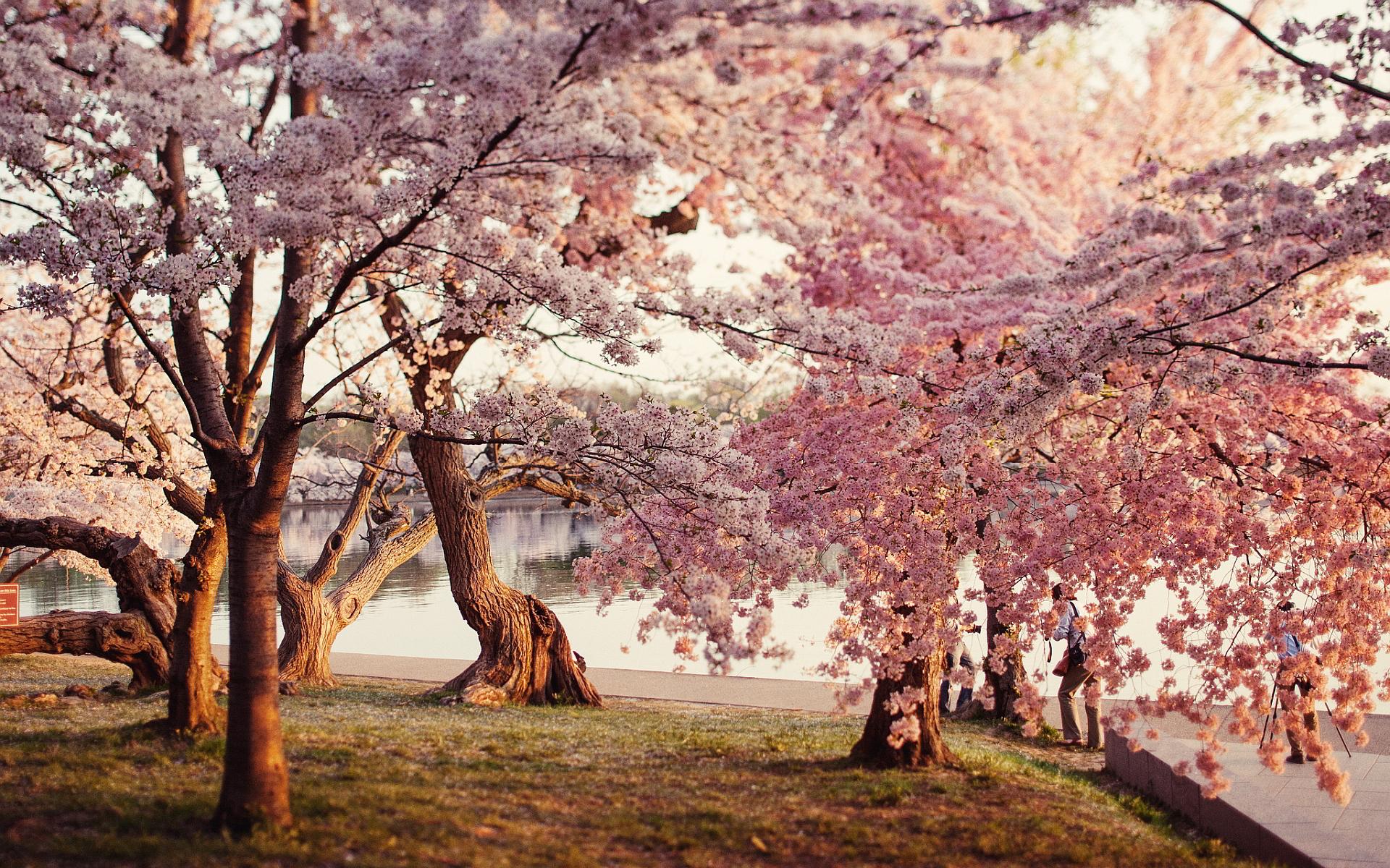Park cherry blossoms
