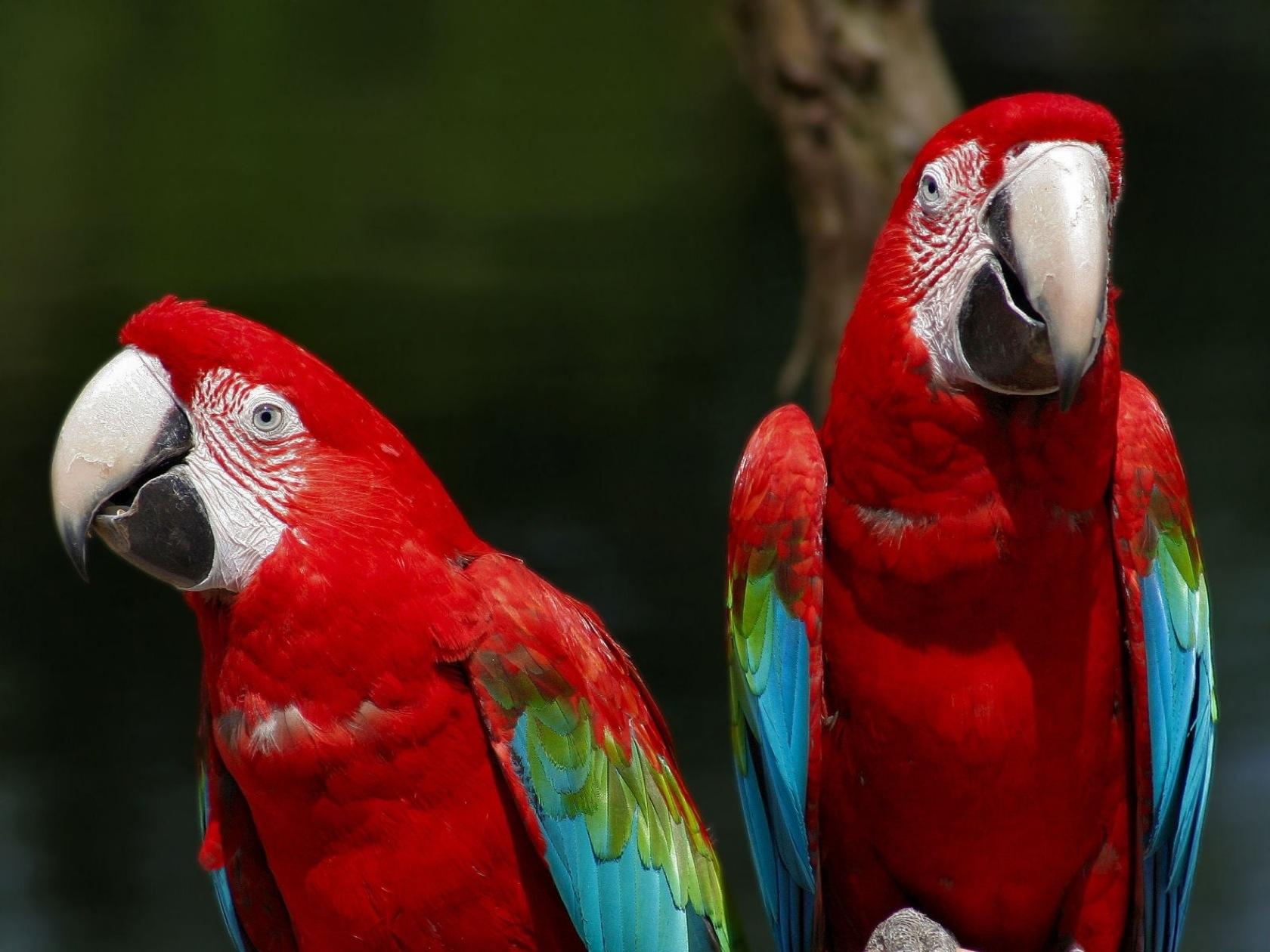 Parrot Bird Red