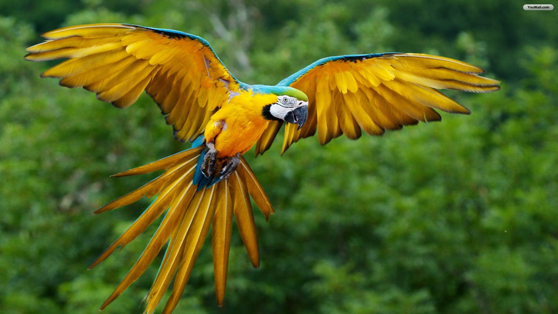 Flying-Yellow-Parrot-HD-Wallpaper-of-birds