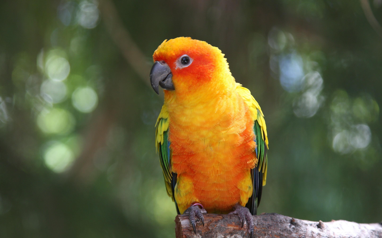 ... Parrot Wallpaper ...