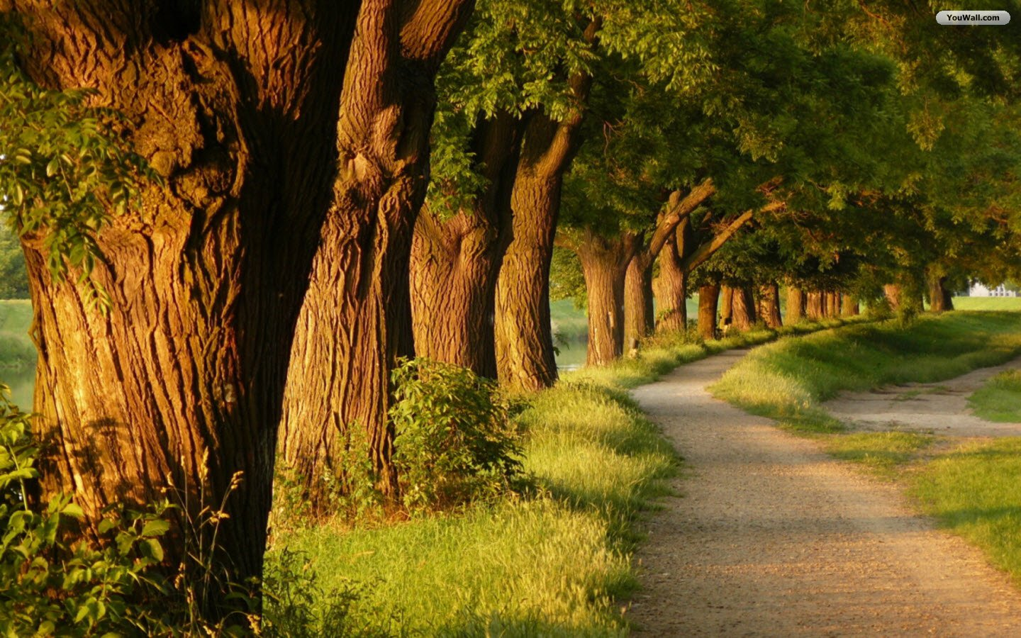 Big Trees Path Wallpaper