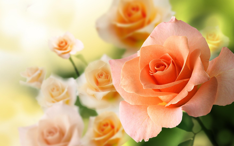 Peach rose wallpaper 2880x1800 31289 - Peach rose wallpaper ...