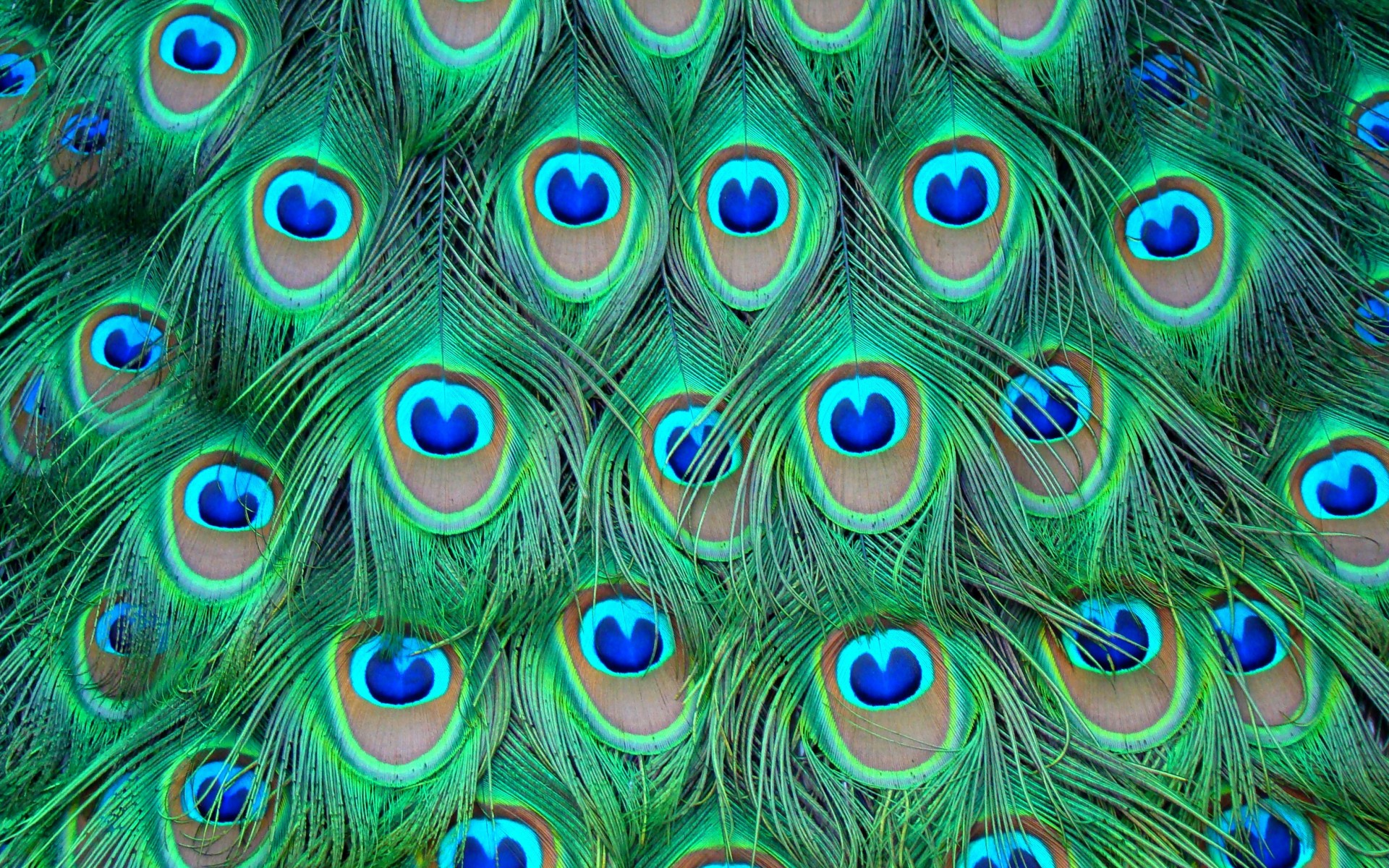 Wallpaper Details. File Name: Peacock Feather ...