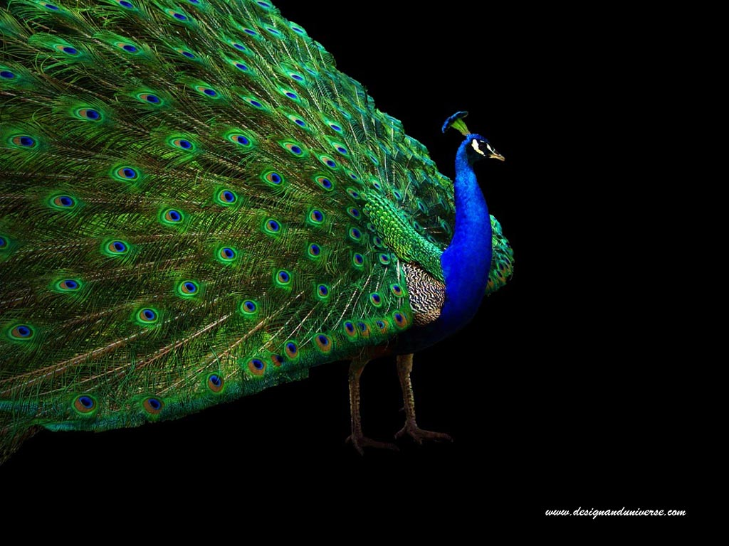 Beautiful Peacock Wallpapers