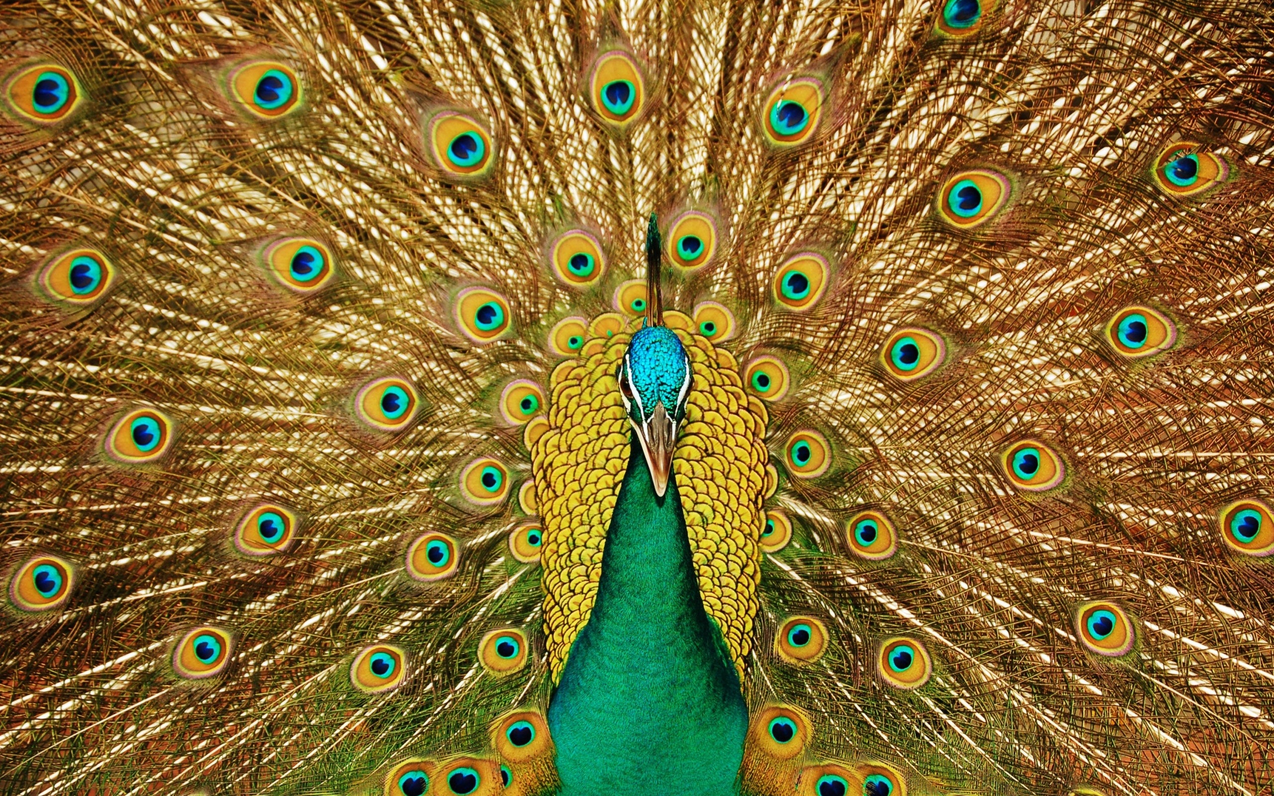 Hd peacock wallpapers free download