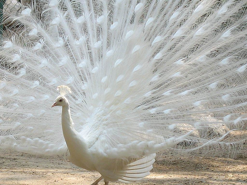 free Peacock wallpaper wallpapers and background