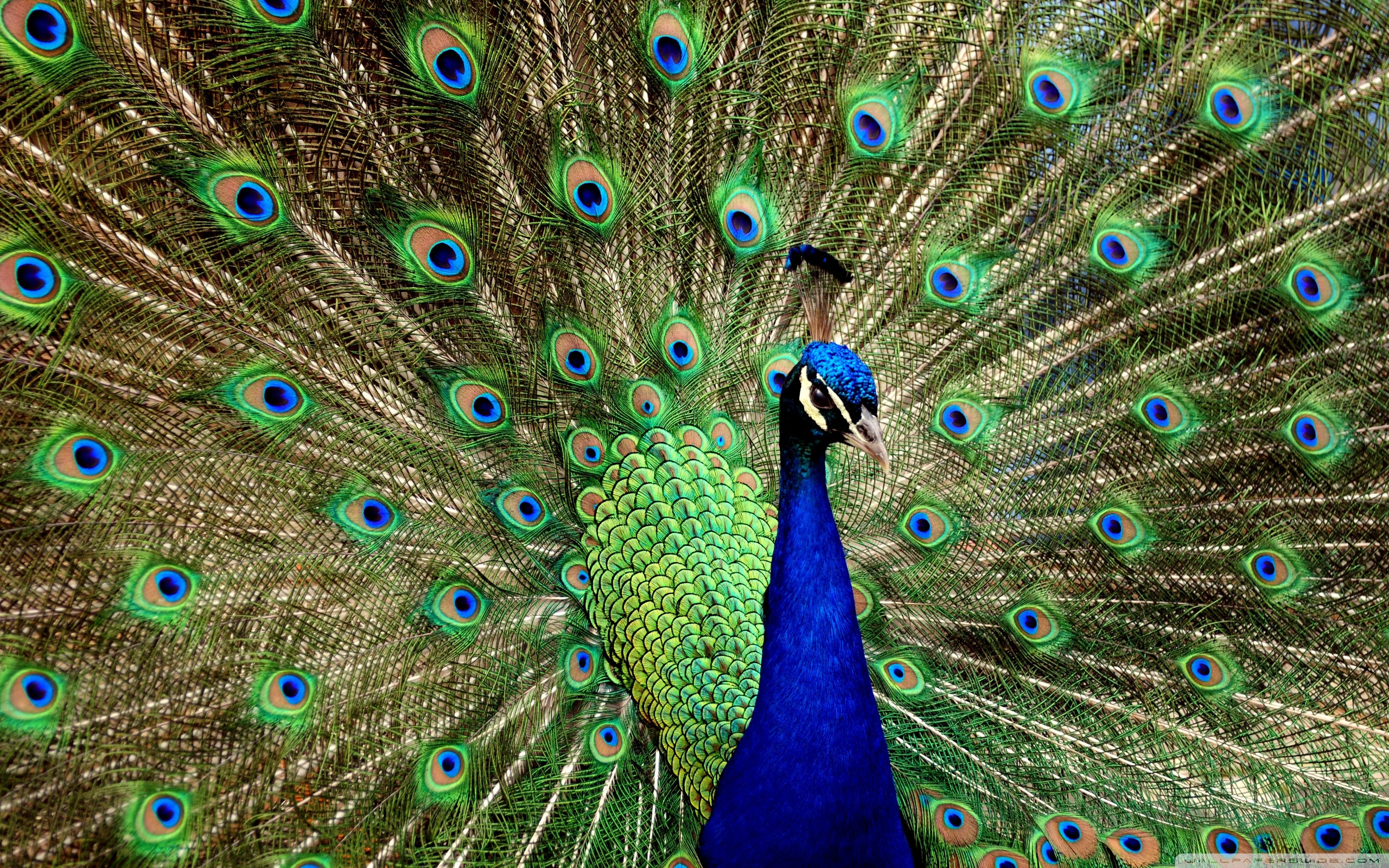Peacock Wallpaper