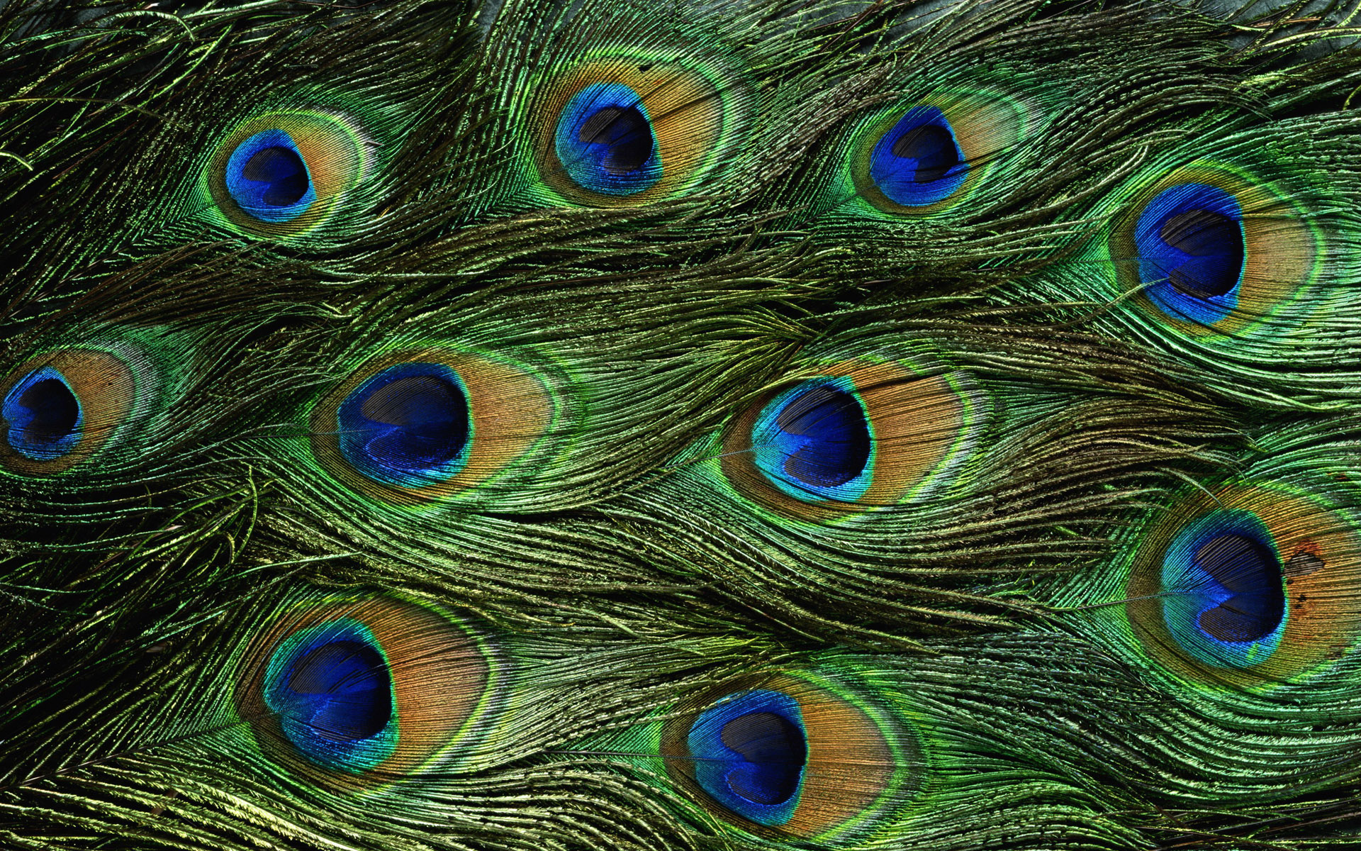 1920 x 1200 - 1301k - jpg 2309 Peacock Feather Background ...