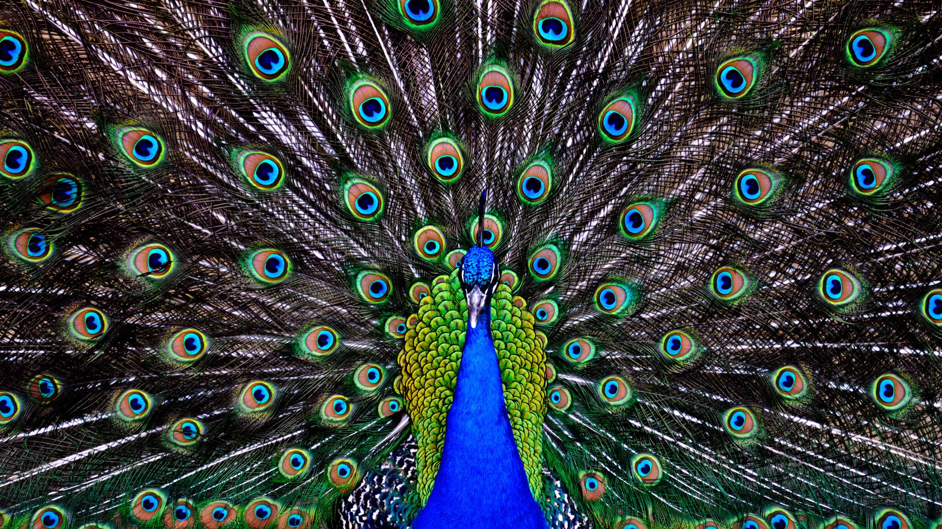 peacock wallpaper 36 wallpaper background hd