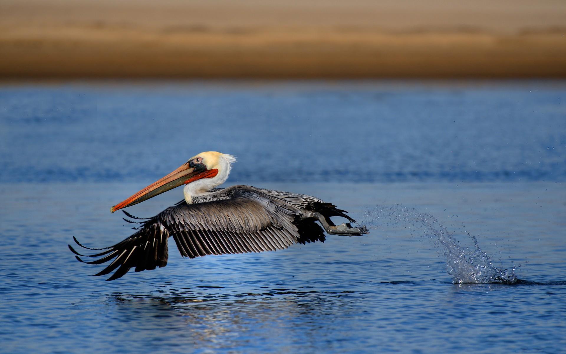 HD Wallpaper | Background ID:448459. 1920x1200 Animal Pelican