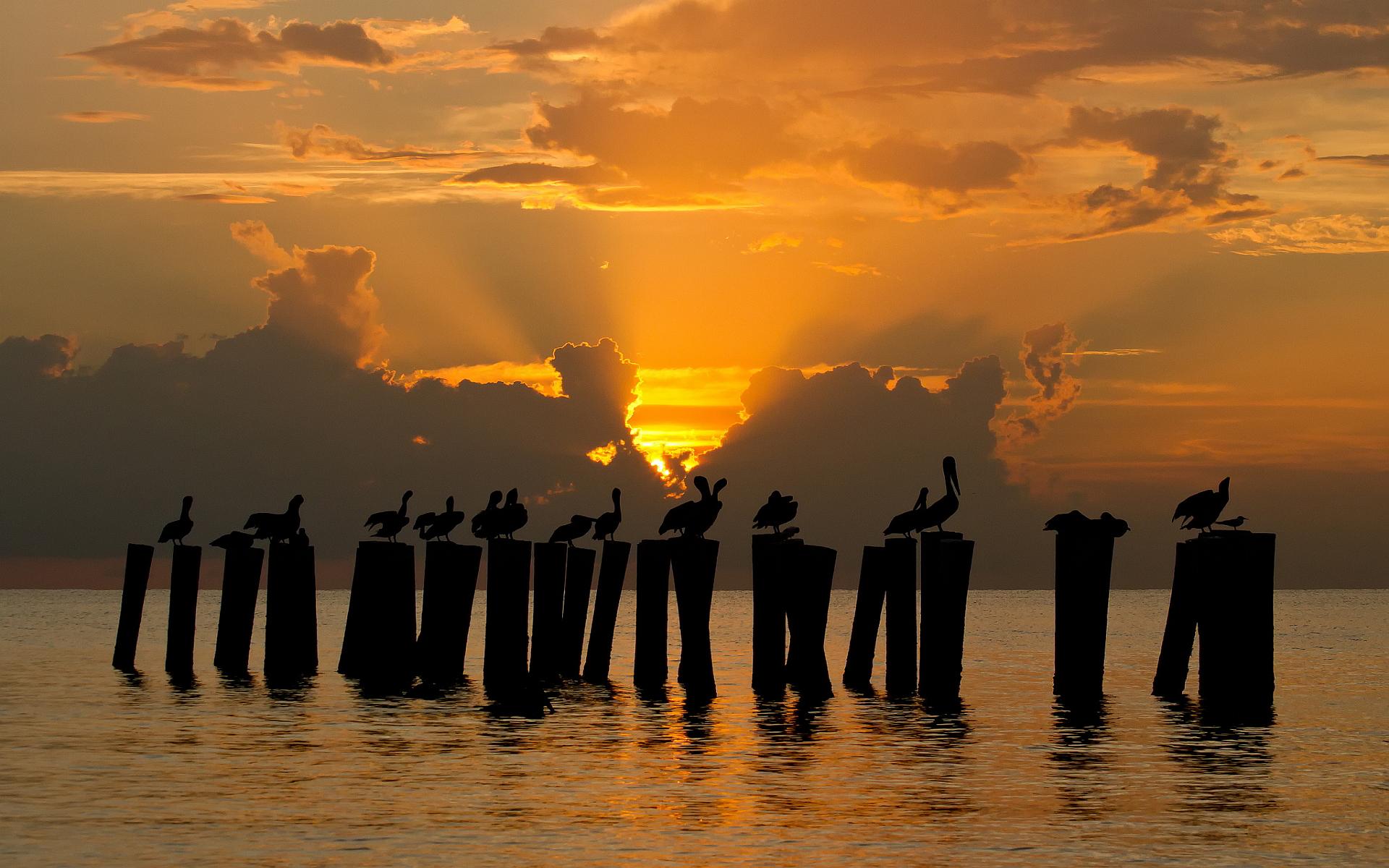 Pelicans in sunset