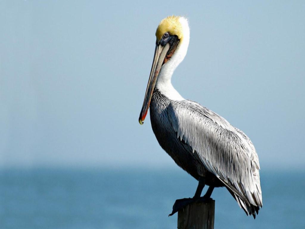 Pelicans Water Birds
