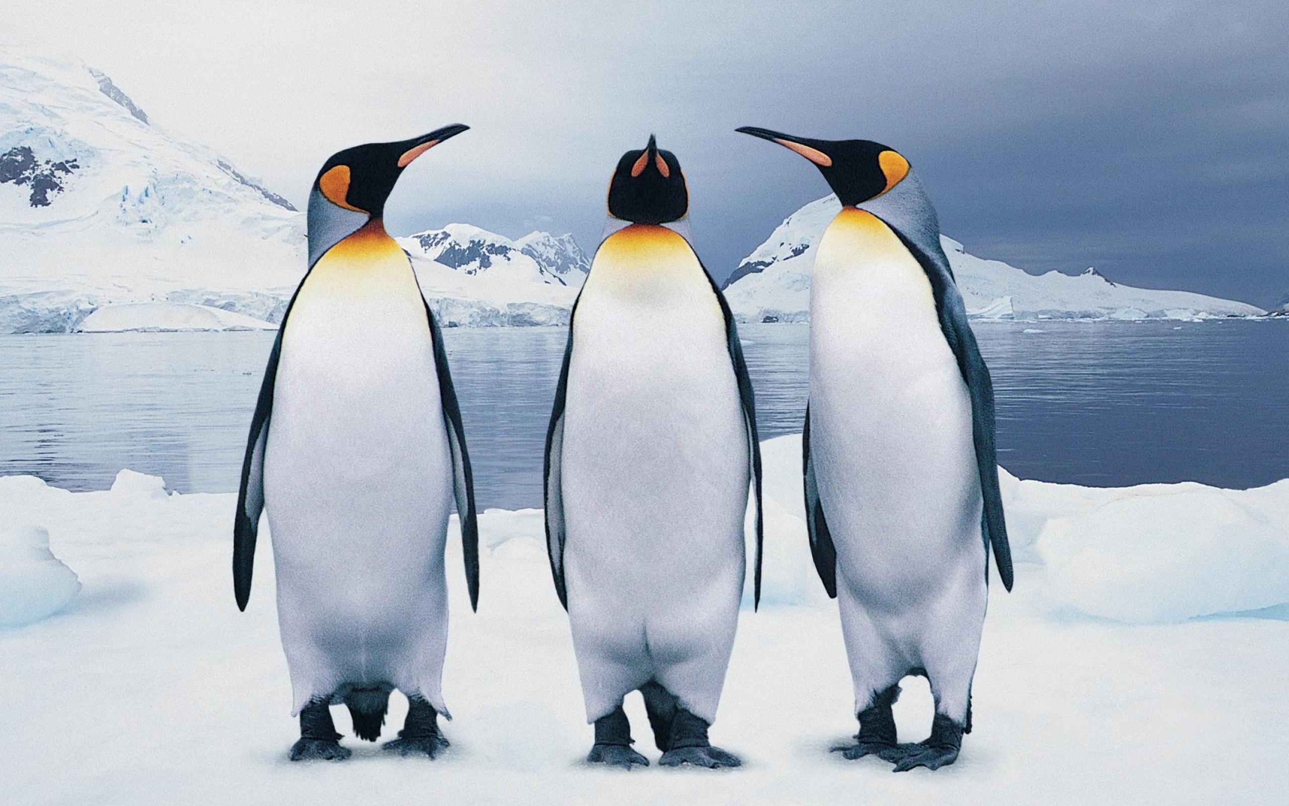 funny penguin bird 181619