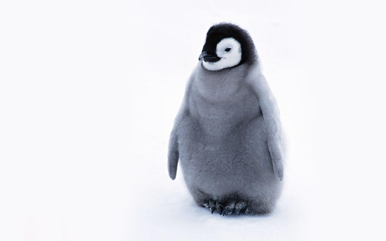 Penguins Cute Penguin