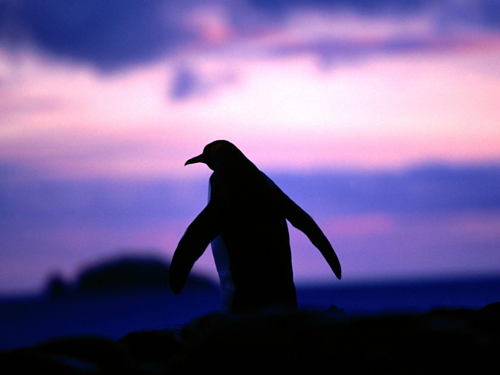 Widescreen resolutions (16:10): 1280x800 1440x900 1680x1050 1920x1200. Normal resolutions: 1024x768 1280x1024. Wallpaper Tags: penguin