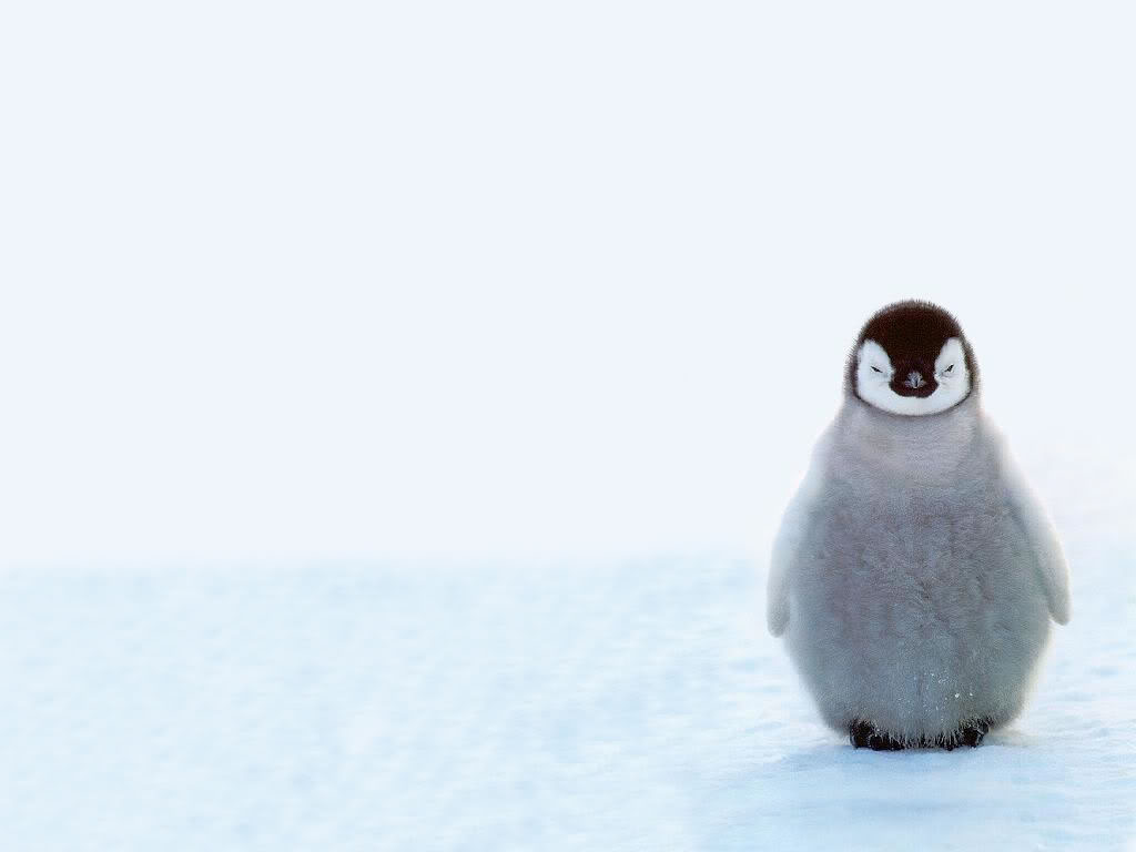 photo cute-penguin-wallpaper.jpg