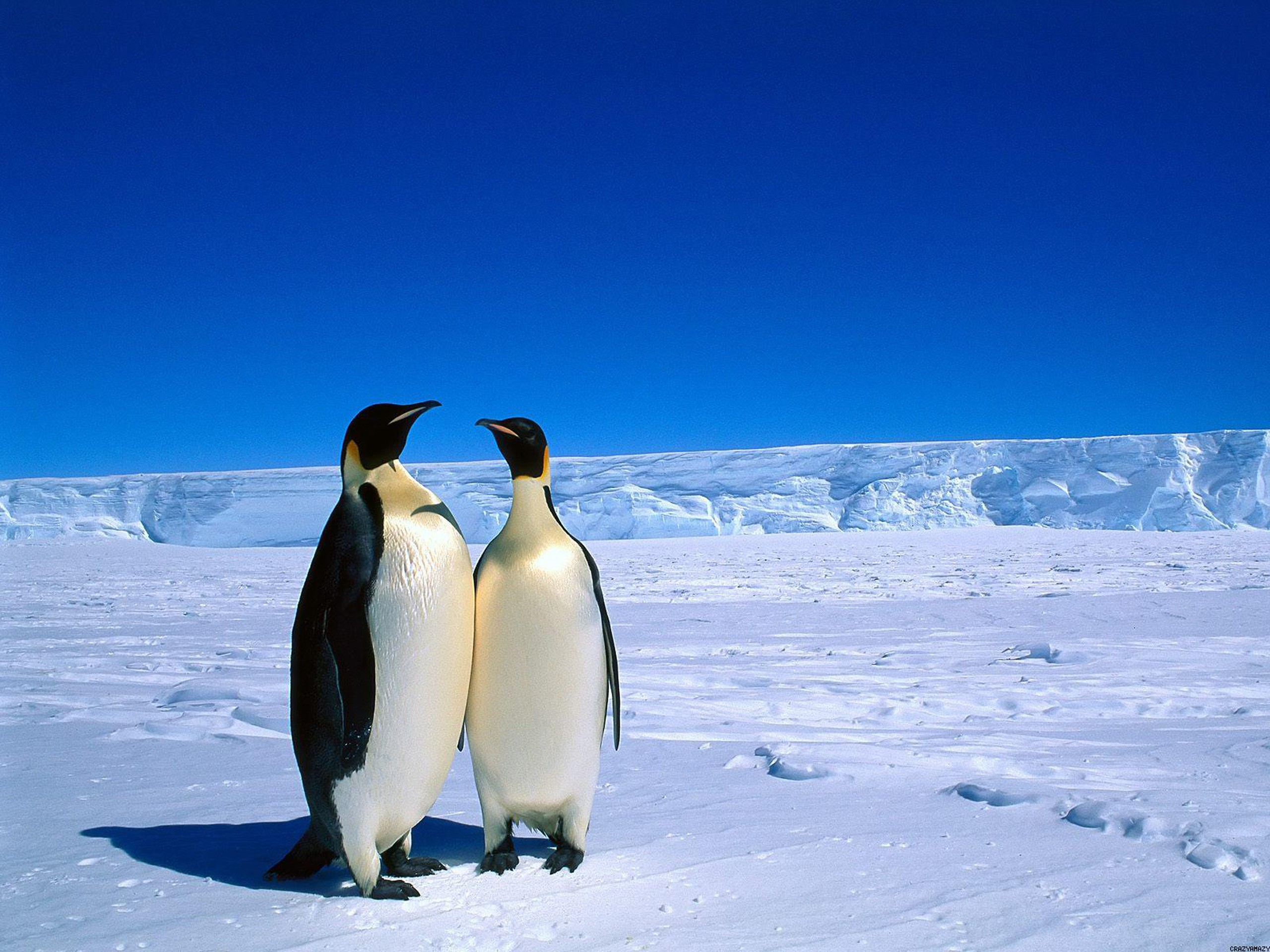 HD Wallpaper | Background ID:446913. 2560x1920 Animal Emperor Penguin