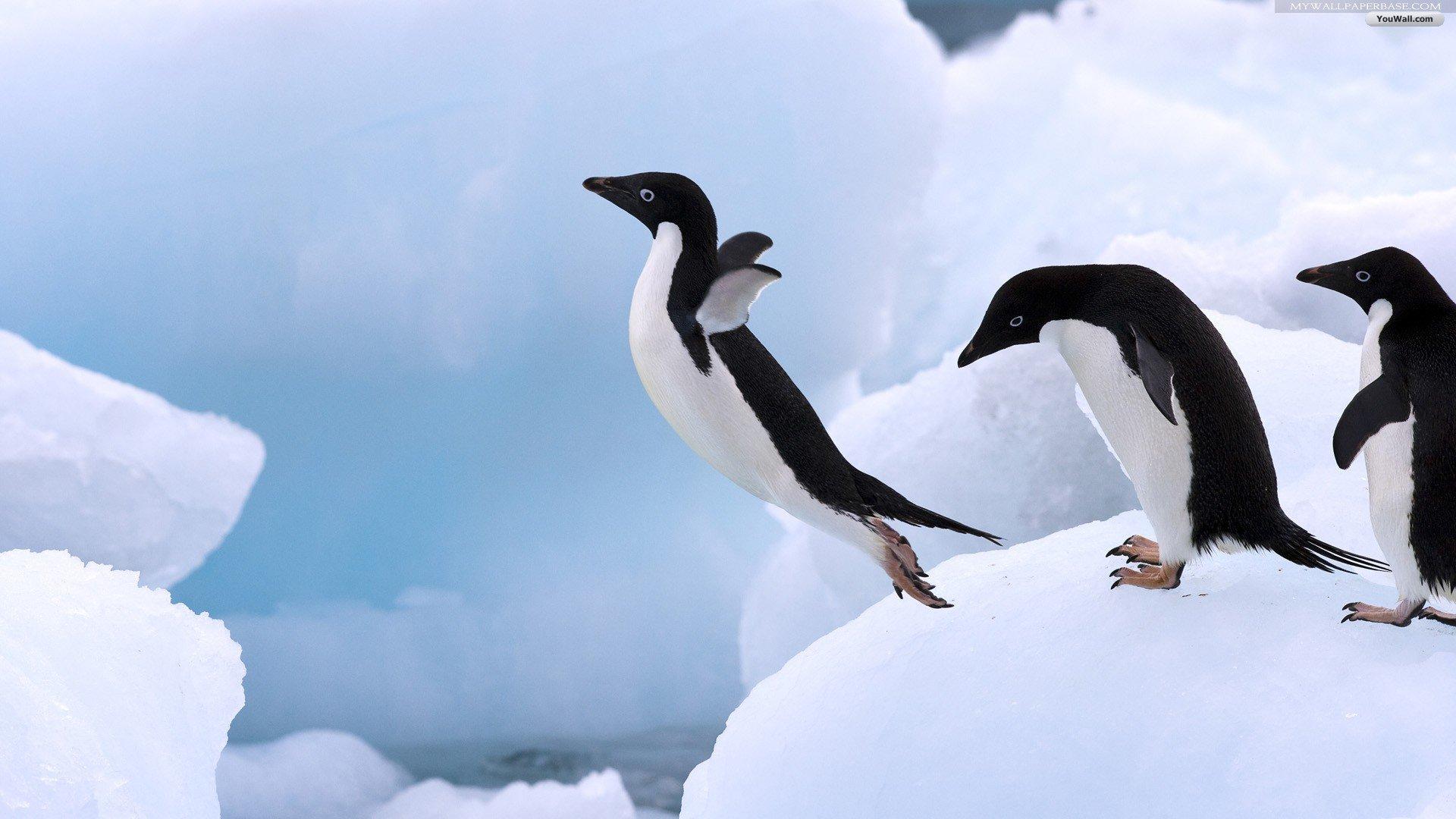 Penguin Wallpaper