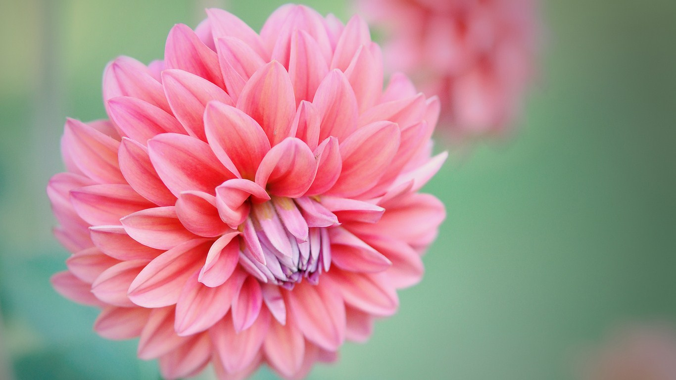 Beauty Pink Peony Flower