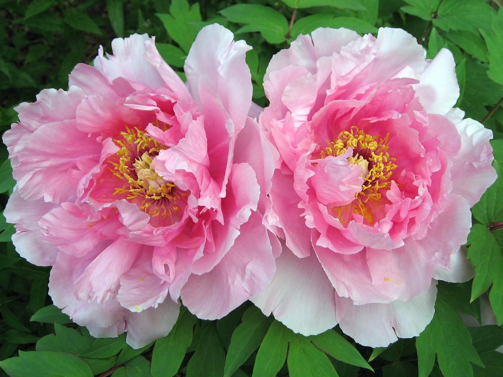Peony Flowers 31257 1366x768 px